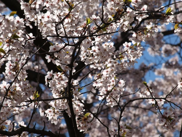 Sakura blossoms, please shield me from the sun