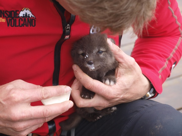Flame, the orphaned baby arctic fox